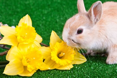 one cute little rabbit sniffing yellow narcissus photo