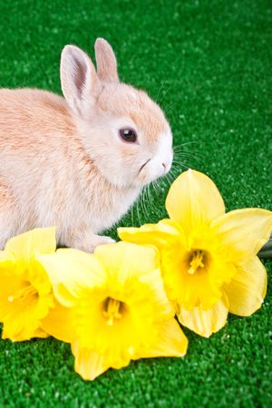 cute little rabbit and yellow narcissus around him photo
