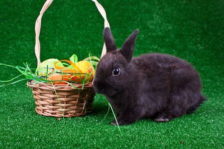 cute black rabbit in front of nest with easter eggs photo