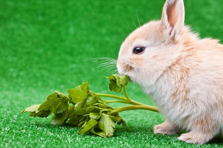 cute little bunny eating parley on green grass photo