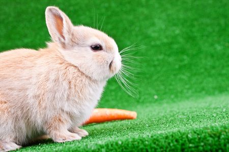young sweet domaestic bunny with orange carrot photo