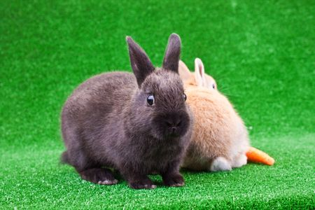two little domestic bunnies on green grass photo