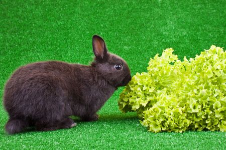 one hungry little rabbit eating green salad  photo