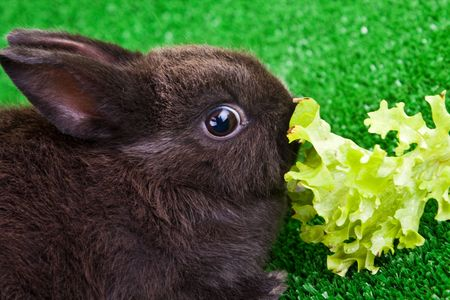 cute little bunny eating a green salad photo