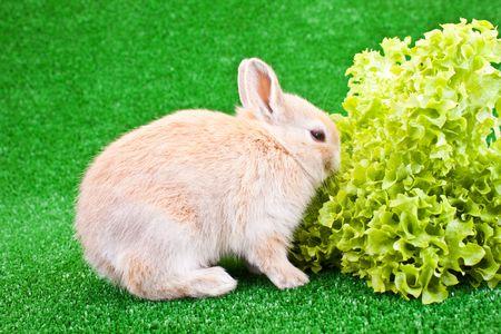 little domestic rabbit eating big green salad photo