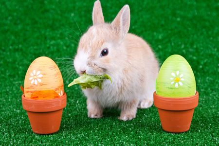 easter eggs and  domestic rabbit eating salad  photo