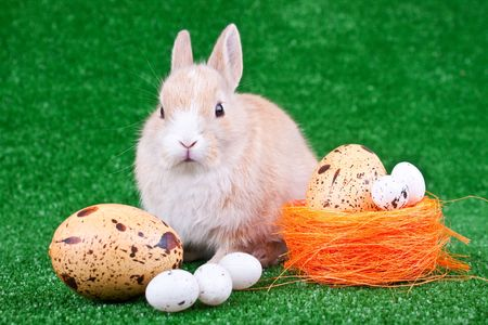 easter eggs and one cute domestic rabbit photo