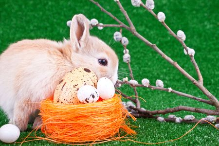 domestic rabbit, easter eggs and willow pussy photo