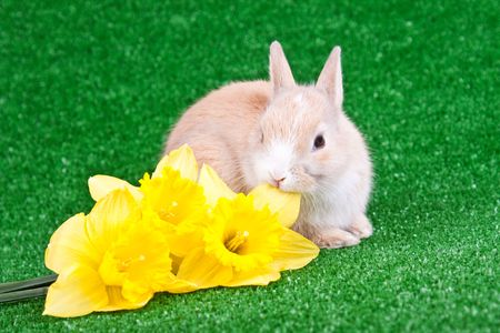 one cute little rabbit eating yellow narcissus photo