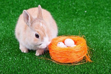 nestle: sweet domestic bunny beside nestle with eggs Stock Photo