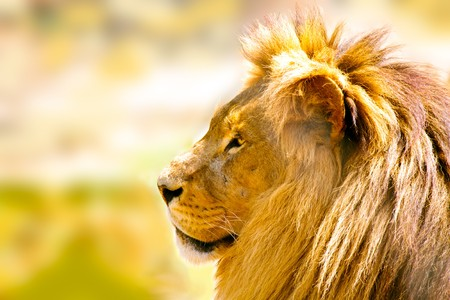profile of a relaxed African lion staring – closeup