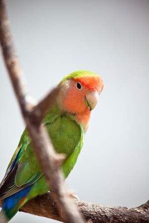 closeup of a peach-faces lovebird sitting on a tree branch photo