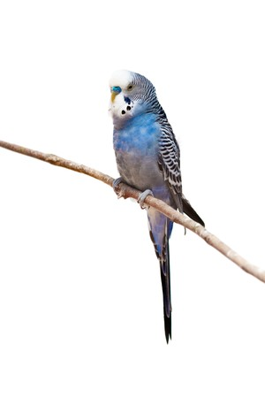 budgie: photo of a little budgie parrot sitting on a tree branch Stock Photo