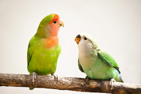 love birds: closeup of a peach-faces lovebird sitting on a tree branch Stock Photo