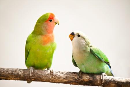loros verdes: portarretrato de un Agapornis de durazno-caras sentado sobre una rama de �rbol  Foto de archivo