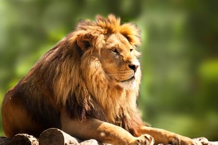 Профиль расслабленной африканского льва глядя в зоопарке Фото со стока