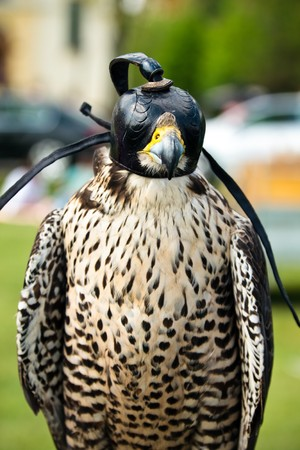 falconidae: closeup of a falcon with his cap on  Stock Photo