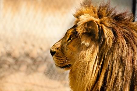 furry animals: hermoso León africano relajante sobre el sol