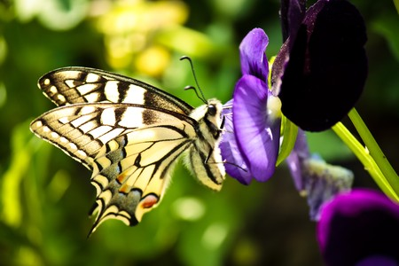 campo de flores: portarretrato de una hermosa mariposa poco sobre una flor de color púrpura  Foto de archivo