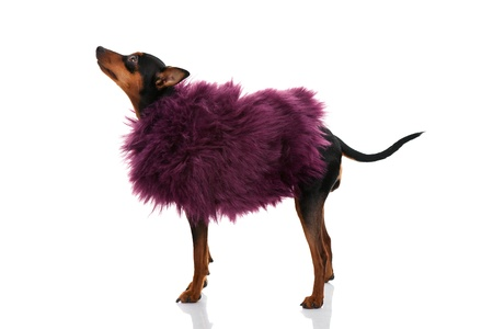 miniature pinscher  dressed with pink fur coat, isolated on white