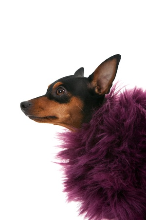 dog in costume:  portrait of fashion miniature pinscher  isolated on white background Stock Photo
