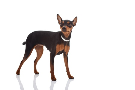 pinscher: Miniature pincher posing on white background, isolated, horizontal shot
