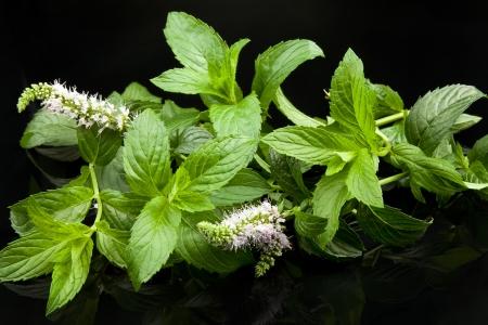 menta: menta hojas de color verde, sobre fondo negro