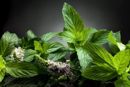 menta: planta fresca de menta verde sobre fondo negro