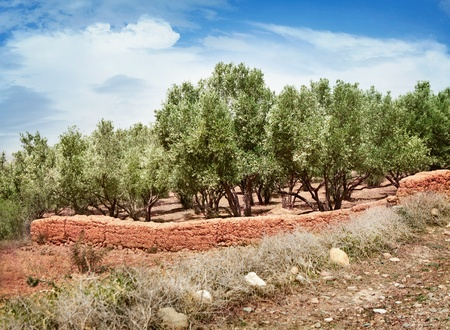 Plantation of olive trees in Morocco Stock Photo - 13093001