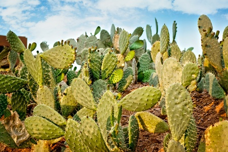 Close up of Prickly Pear cactus in desert. Stock Photo - 13092993