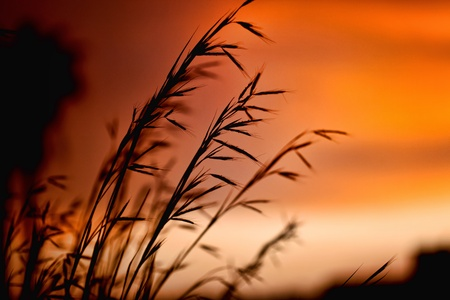 Silhouette of wheat on a orange sundown background. photo