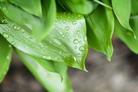 leafage: Water drops on green plant leafage Stock Photo
