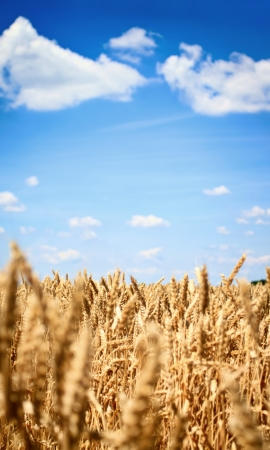 Golden wheat field with blue sky,   landscape photo