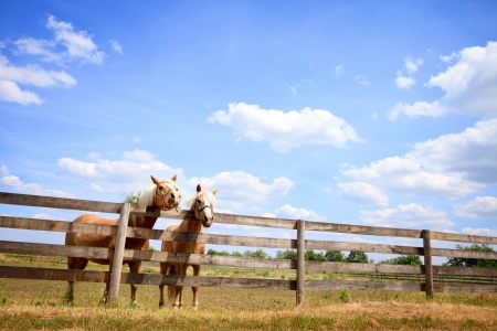 Two horses next fence on farm, beautiful countryside photo
