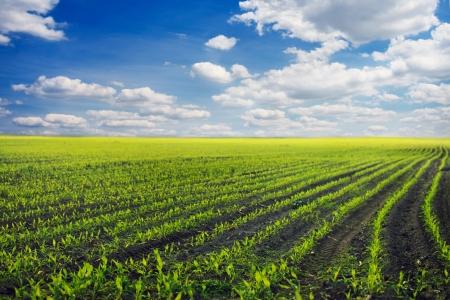 mais: Gr�nes Feld mit jungem Mais bei Sonnenuntergang