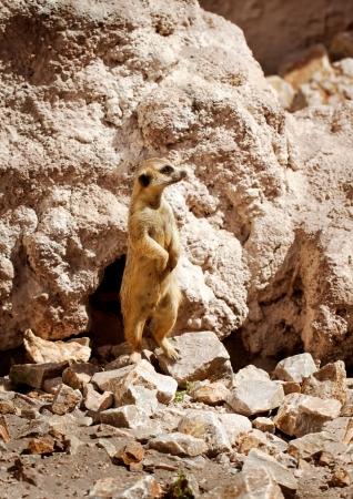 animal den:  Meerkat standing next his hole