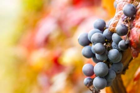 purple red grapes:  red grape on vine Stock Photo