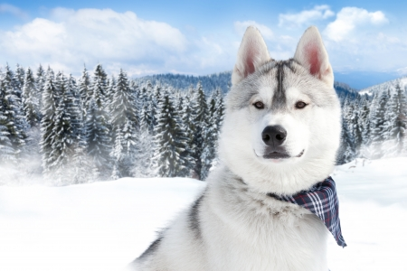 close-up portrait of Siberian husky breed dog on winter background photo