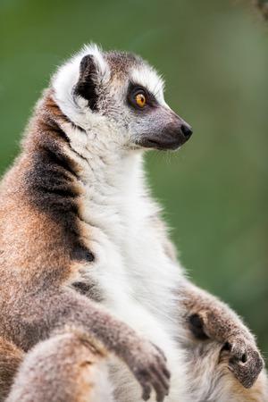 catta:  Portrait of Ring-tailed lemur (Lemur catta)