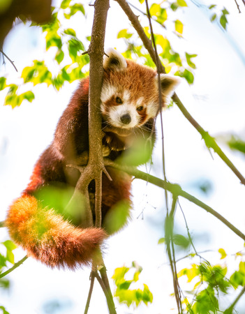 Red Panda  or Lesser Panda hanging on a branch high in a tree photo