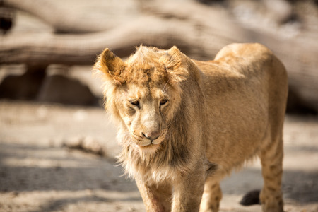 angry lion:  Lion female walking in sunny day Stock Photo
