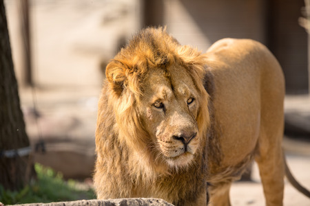 big cat:  Lion, male big cat walking in sunny day Stock Photo