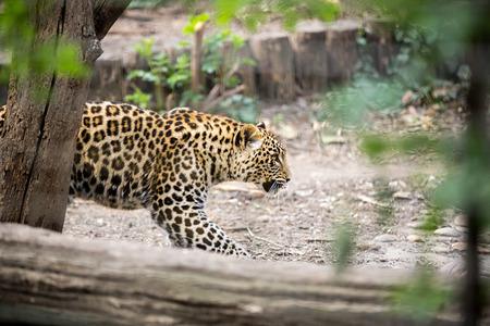 irbis: Snow Leopard Irbis (Panthera uncia) leopard walking  in zoo Stock Photo