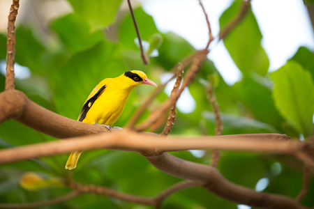 wild canary:  Yellow canary sitting  on branch