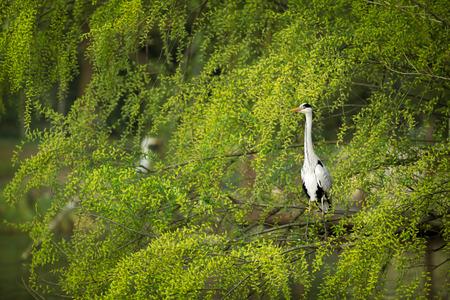 cinerea:  Grey Heron (Ardea cinerea)