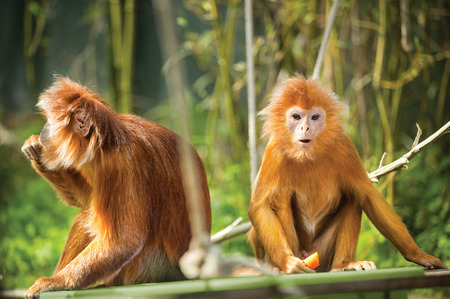 ebony tree:   Two funny ebony langur monkey sitting on tree