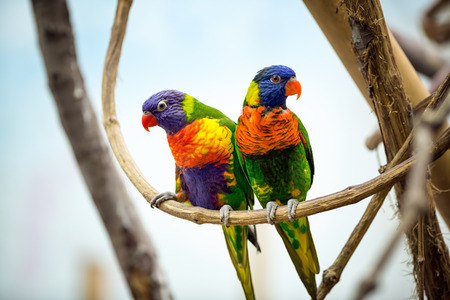 red beak:  Parrot couple with red beak Stock Photo