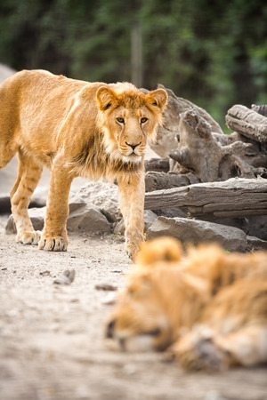 angry lion:  young lion walking  Stock Photo