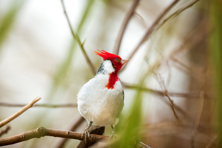 Cardinal bird with red-crested or Paroaria Coronata Stock Photo
