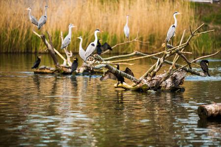 ardea cinerea:  Colony of Grey Herons (Ardea cinerea) Stock Photo